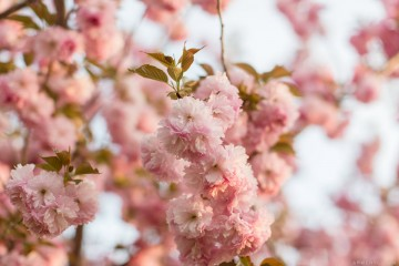 Cherry-Blossoms-photographed-by-Armenyl.com