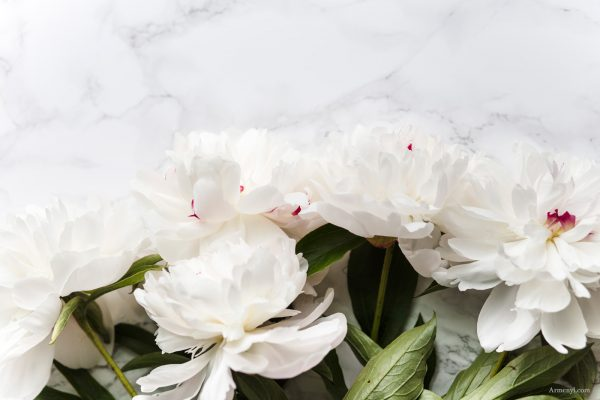 White Peony Flower photographed by Armenyl.com